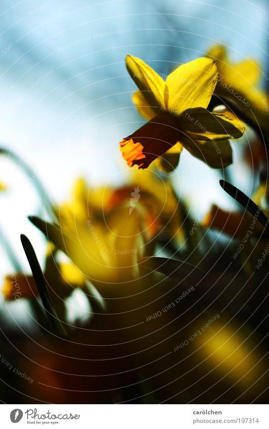 Narzisse Natur Pflanze Frühling Sommer Schönes Wetter Blume Blüte Narzissen Garten Park Wiese blau gelb schwarz Kontrast carölchen Frühlingsblume
