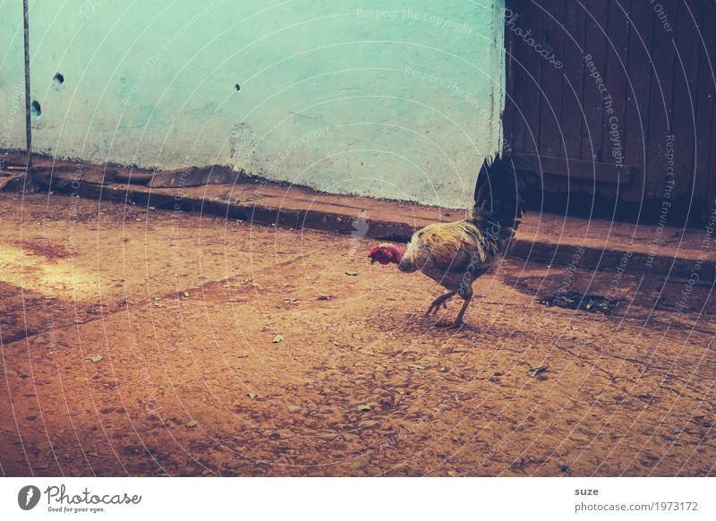 El pollo Zufriedenheit Haushuhn ruhig trist Wärme Stadtrand Fassade Haustier Armut klein Vergangenheit Kuba tierisch Bioprodukte Gesunde Ernährung