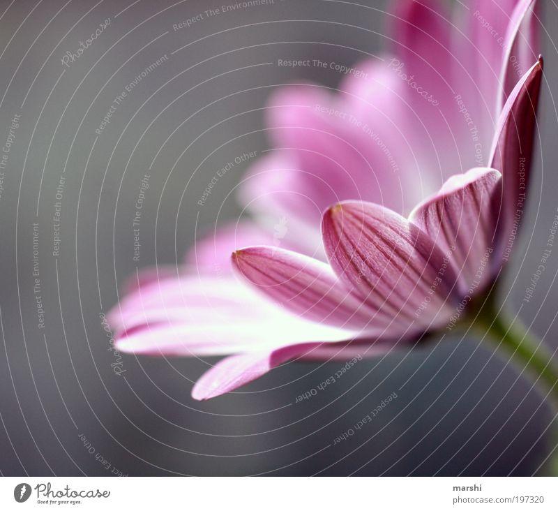 zart Natur Blume Pflanze Blüte Frühling grau Park Stimmung rosa weich violett sanft Blütenblatt Frühlingsblume