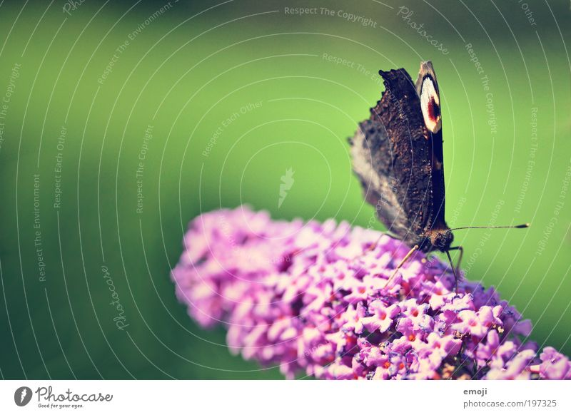 Smettaling grün Pflanze Sommer Tier Frühling rosa Schmetterling
