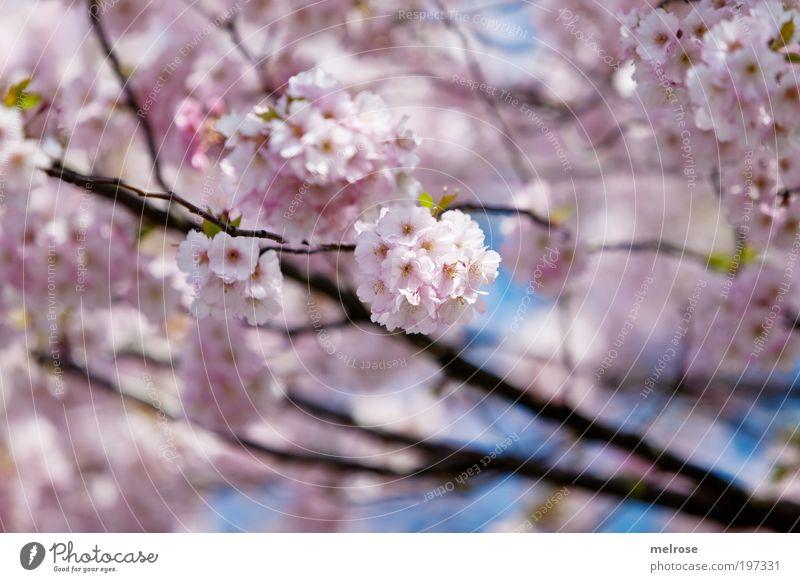 Blütentraum Ausflug Freiheit Natur Pflanze Himmel Sonnenlicht Frühling Schönes Wetter atmen berühren Blühend Duft Erholung hängen träumen Wachstum positiv rosa