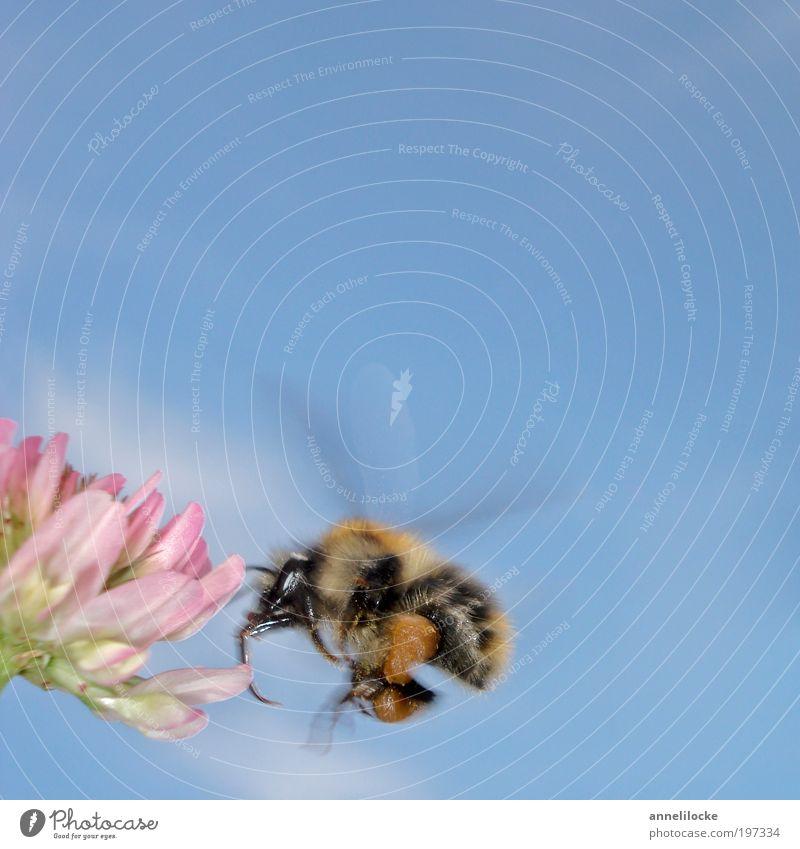 bssssssssssssssss..... Natur Pflanze Sommer Tier Wiese Blüte Frühling Park Feld Umwelt fliegen Erfolg Klima Flügel Insekt Fell