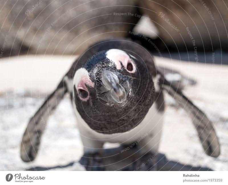 Na du?! Ferien & Urlaub & Reisen Tourismus Abenteuer Sommerurlaub Strand Meer Umwelt Natur Küste Tier Wildtier Tiergesicht Flügel Brillenpinguin Pinguin 1