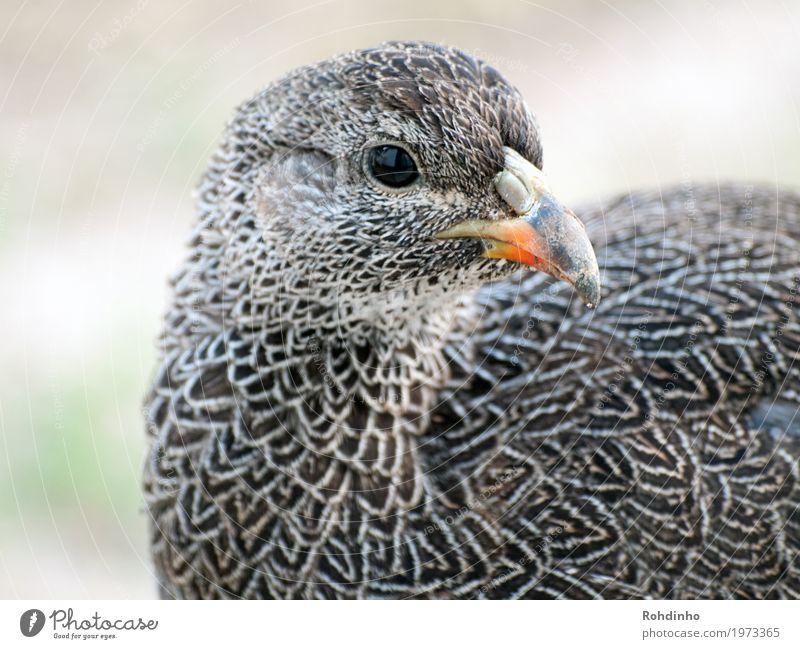 Vogelportrait Natur Sommer Südafrika Tier Haushuhn Laufvogel 1 schön Schnabel Federvieh Muster Farbfoto Außenaufnahme Nahaufnahme Detailaufnahme Menschenleer