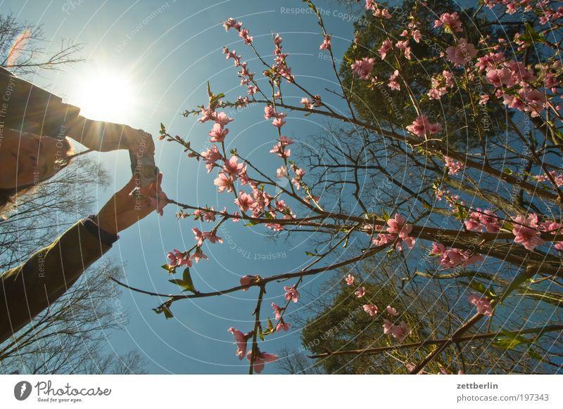 Den Frühling fotografieren Frau Mensch Himmel Natur Hand Baum rot Sonne Blüte Beleuchtung Arme rosa Fotografie leuchten Sträucher