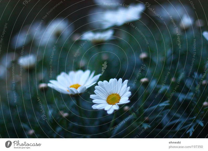 In Bloom Natur Blume Pflanze Blüte Frühling Glück Stimmung Umwelt Hoffnung Lebensfreude Optimismus Margerite Frühlingsgefühle
