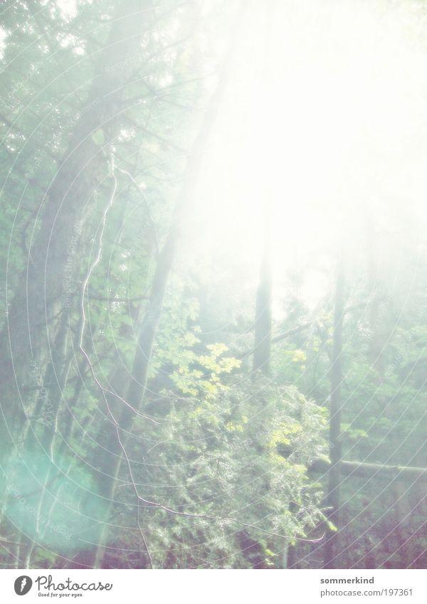 Ver:strahlt Umwelt Natur Pflanze Sonne Sommer Schönes Wetter Baum Blatt Wald frei hell natürlich schön wild weich grün weiß Überbelichtung Märchenwald Urwald