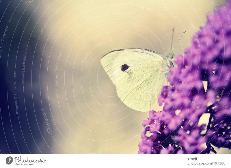 im Bauch blau Pflanze Sommer Tier gelb Frühling violett Schmetterling Makroaufnahme