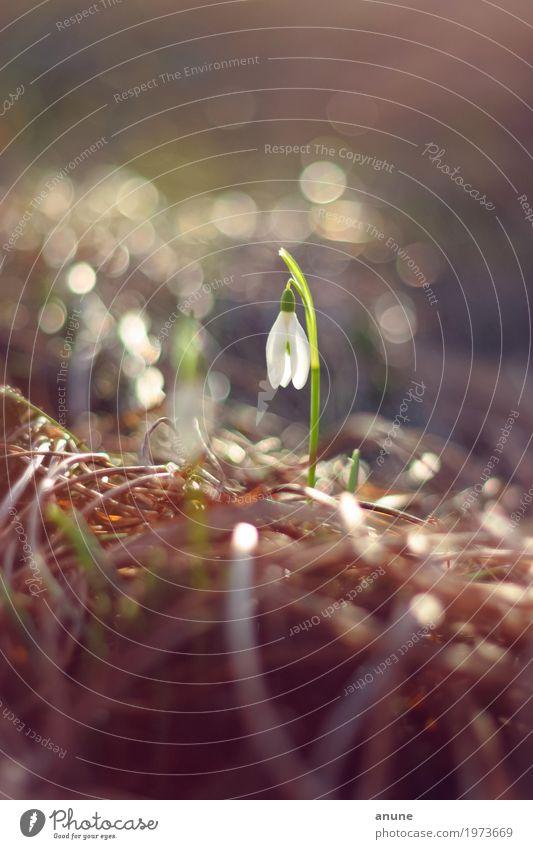 Früh blüht sich! Umwelt Natur Pflanze Frühling Klima Schönes Wetter Blume Blüte elegant frisch niedlich schön Frühlingsgefühle Vorfreude Ausdauer Einsamkeit