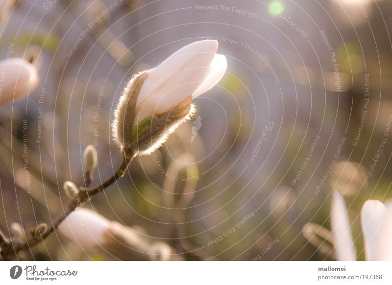 aufbrechen Umwelt Natur Pflanze Sonnenaufgang Sonnenuntergang Frühling Blüte Magnolienblüte Blütenknospen Blühend Wachstum Duft Wärme weich violett rosa weiß
