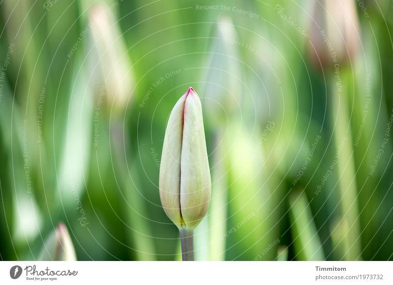 Frühling jetzt! Umwelt Natur Pflanze Blume Tulpe Blüte Park Blühend Wachstum ästhetisch einfach natürlich grün rot Gefühle Lebensfreude Frühlingsgefühle