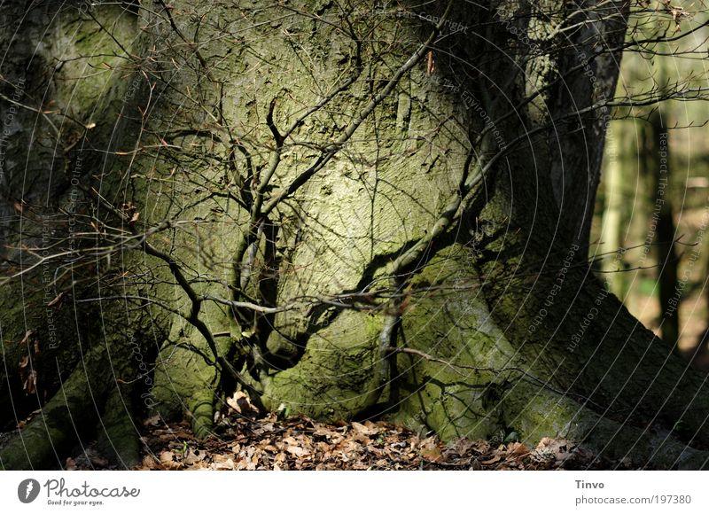 Waldschrat Natur Baum Pflanze Wald dunkel Angst Wachstum nah bedrohlich Wandel & Veränderung Schutz geheimnisvoll gruselig Baumstamm Zusammenhalt Verbundenheit