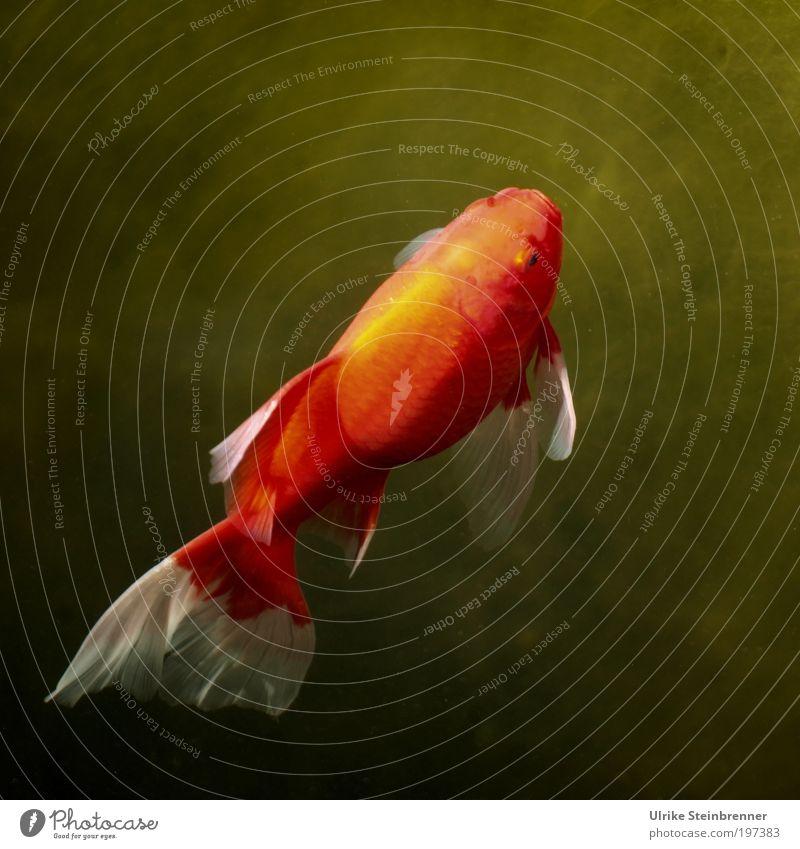 Sonnenhungrig Wasser grün rot Sonne Tier ruhig oben Beleuchtung orange gold Schwimmen & Baden Fisch Lebewesen aufwärts Wohlgefühl Neigung