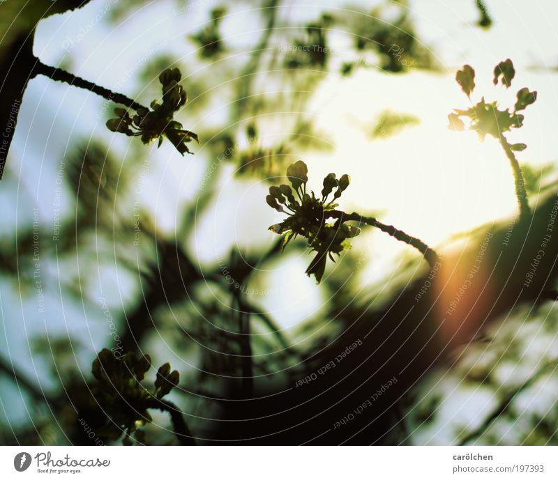die Sonne bricht durch Umwelt Natur Landschaft Himmel Wolkenloser Himmel Sonnenaufgang Sonnenuntergang Frühling Sommer Baum Blüte Grünpflanze Park blau gelb
