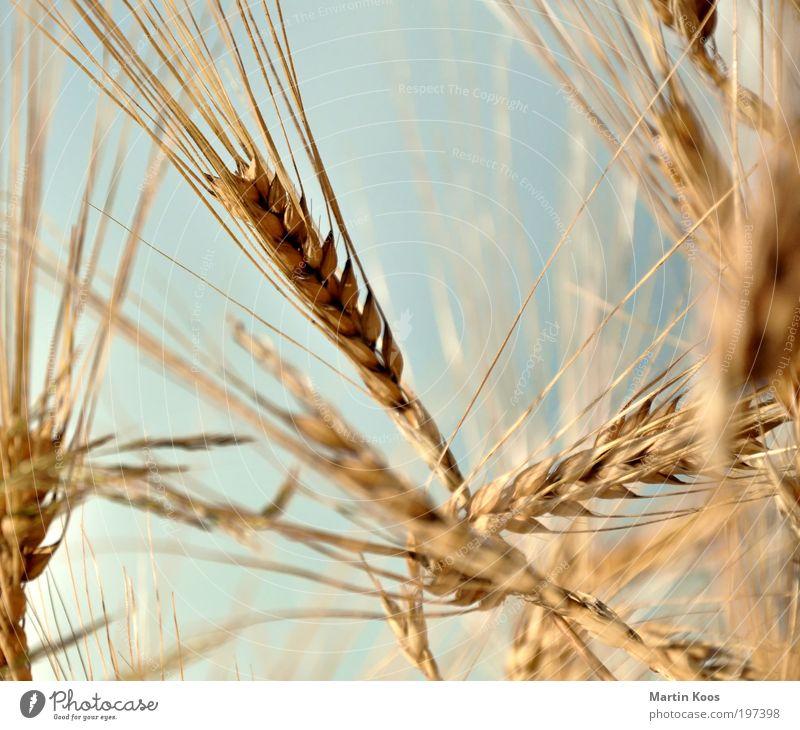 Lob der Landwirtschaft Natur Nutzpflanze Getreide Pflanze Ähren Sommer Bioprodukte ökologisch Farbfoto Außenaufnahme Detailaufnahme Makroaufnahme Gerstenähre