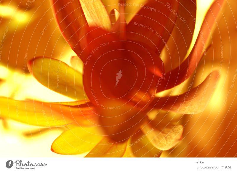 meduse Blume Pflanze Licht rot gelb blühte Makroaufnahme