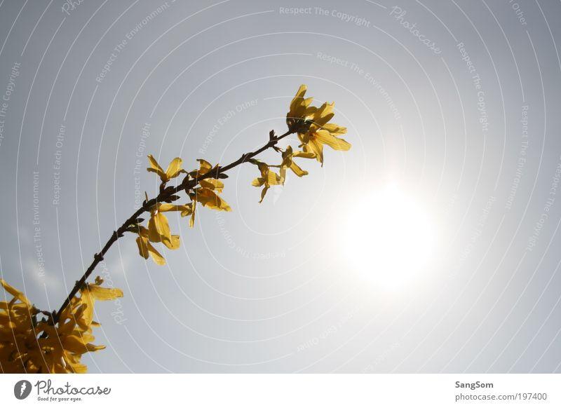 erstes Gelb Sonnenlicht Frühling Schönes Wetter Pflanze Blume Blüte Blühend gelb Frühlingsgefühle Vorfreude Goldregen Himmel Frühlingsblume Frühlingstag
