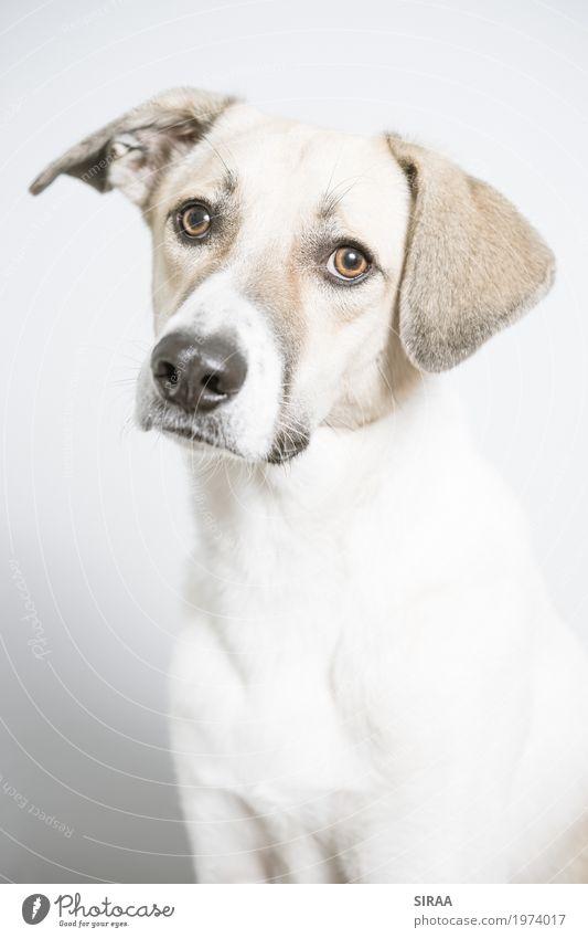Milo aus Griechenland Hund schön weiß Tier Leben hell ästhetisch sitzen beobachten Neugier dünn Fell Wachsamkeit Haustier Leichtigkeit geduldig