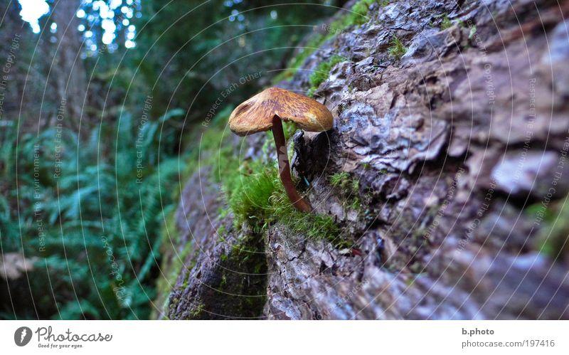 Pilz gehabt? Umwelt Natur Landschaft Pflanze Baum Moos Wildpflanze Baumrinde Pilzhut Wald Urwald Holz dreckig Duft fantastisch frei Unendlichkeit kalt klein