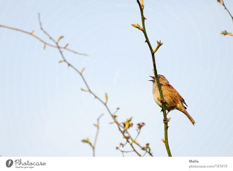 Verdeckte Ermittlungen Umwelt Natur Pflanze Tier Himmel Frühling Sträucher Hundsrose Wildtier Vogel 1 Brunft festhalten sitzen frei klein natürlich blau Gefühle