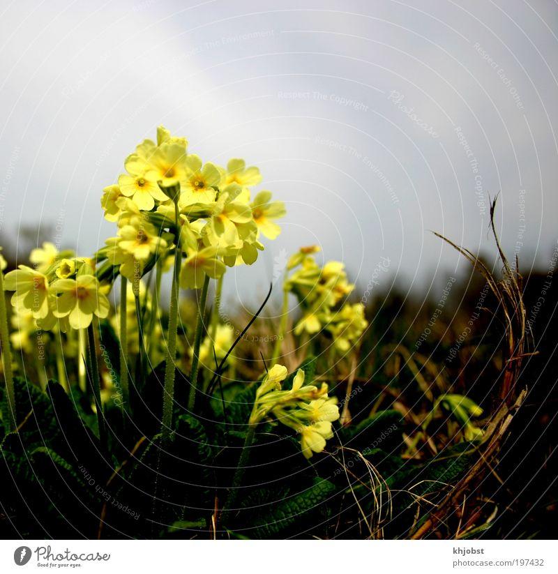 Licht in der Dunkelheit Natur Himmel Blume Pflanze Wolken gelb Frühling Feld Umwelt Erde Umweltschutz Wiesenblume Wildpflanze Wald-Schlüsselblume