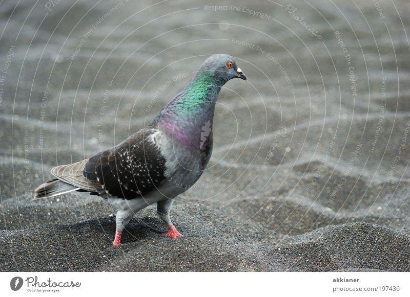 Barfuß Umwelt Natur Tier Urelemente Erde Klima Wetter Schönes Wetter Küste Strand Wildtier Vogel Taube Tiergesicht Flügel 1 gehen laufen schreiten Farbfoto
