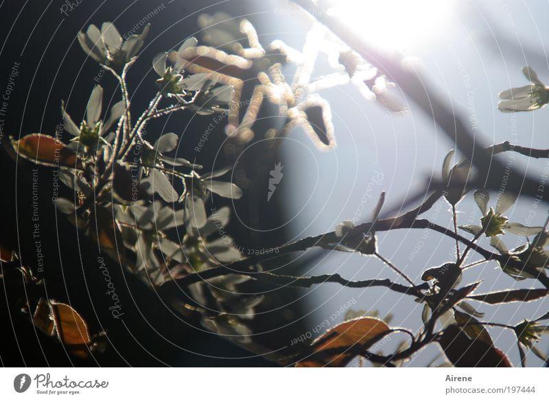 Sternenzauber Sonnenlicht Frühling Baum glänzend leuchten positiv Gegenlicht Blüten Felsenbirne Glück Frühlingsgefühle Begeisterung Lebensfreude träumen