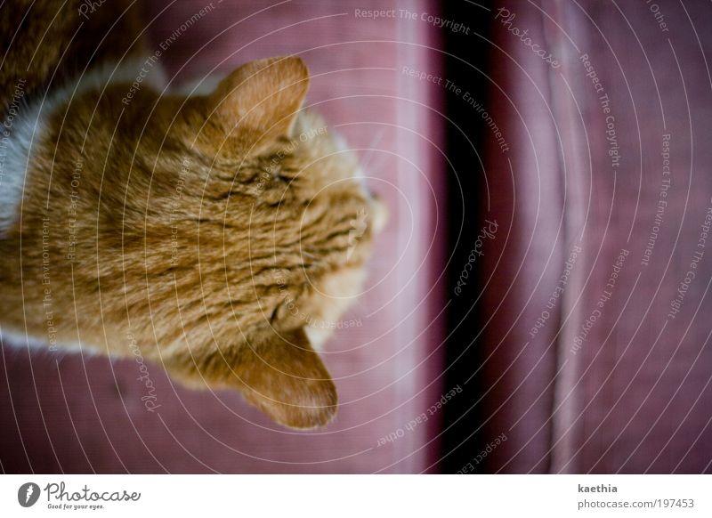 relax! Erholung ruhig Wohnung Möbel Sofa Sessel Wohnzimmer Tier Haustier Katze Fell 1 Linie orange Blick Schnurren rosa ruhen Furche Farbfoto Gedeckte Farben