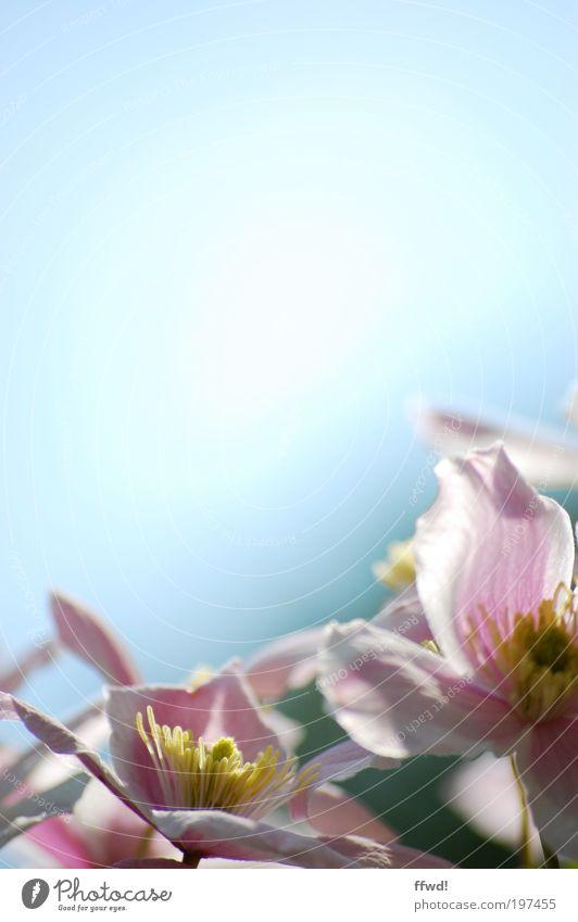 Blühling Pflanze Himmel Frühling Schönes Wetter Blume Blüte Blühend frisch natürlich Frühlingsgefühle Reinheit Leichtigkeit Wachstum gedeihen Farbfoto