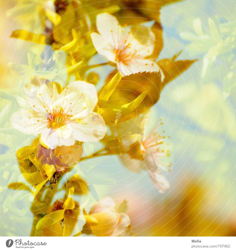 Vereinigung Umwelt Natur Pflanze Frühling Baum Sträucher Blüte Forsithie Forsythienblüte Zierpflaume Blühend Duft Freundlichkeit schön natürlich positiv retro