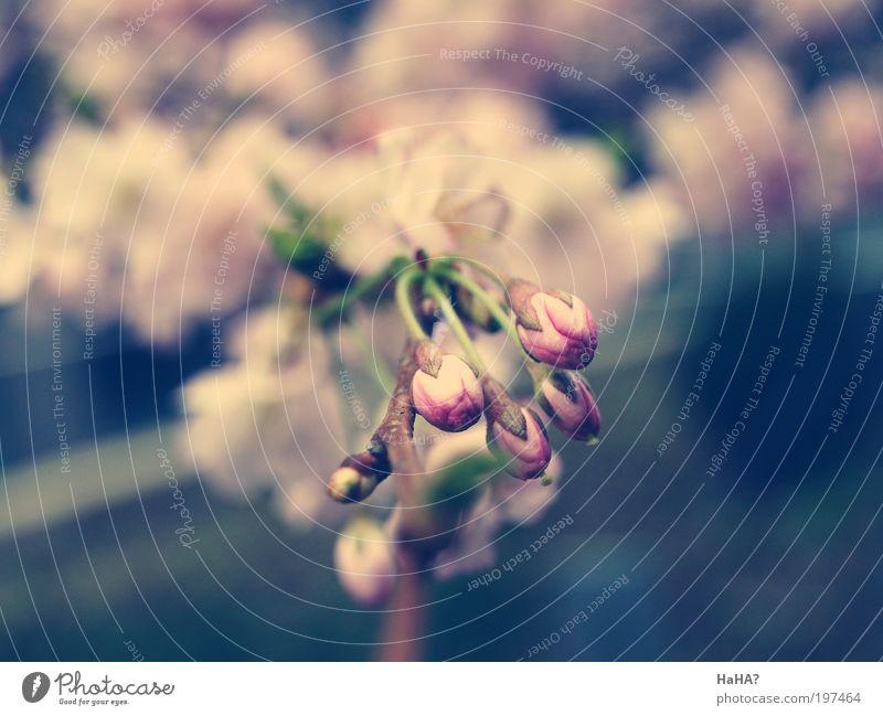 Soft buds Natur Pflanze Sonnenlicht Frühling Schönes Wetter Baum Blume Blatt Blüte Duft neu blau gelb grau grün rosa Farbfoto mehrfarbig Außenaufnahme