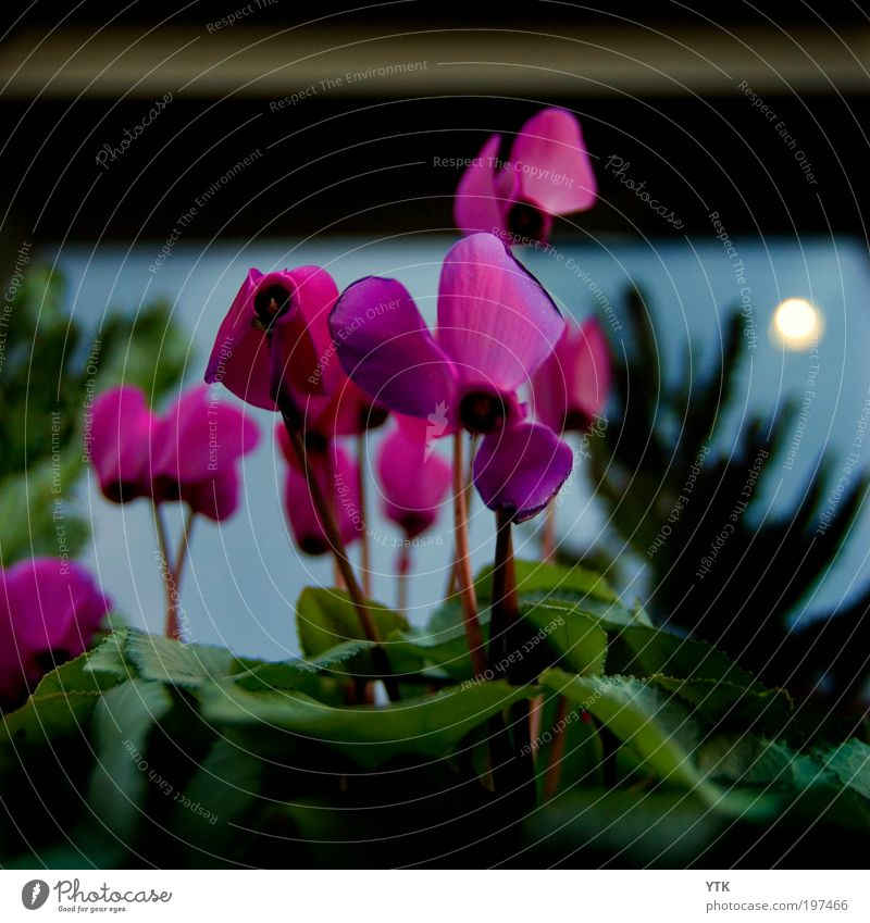In the Moonlight? Natur Himmel Sonne Pflanze Blatt dunkel Blüte Frühling Stimmung Beleuchtung Wetter Umwelt Wachstum Klima violett Vergänglichkeit