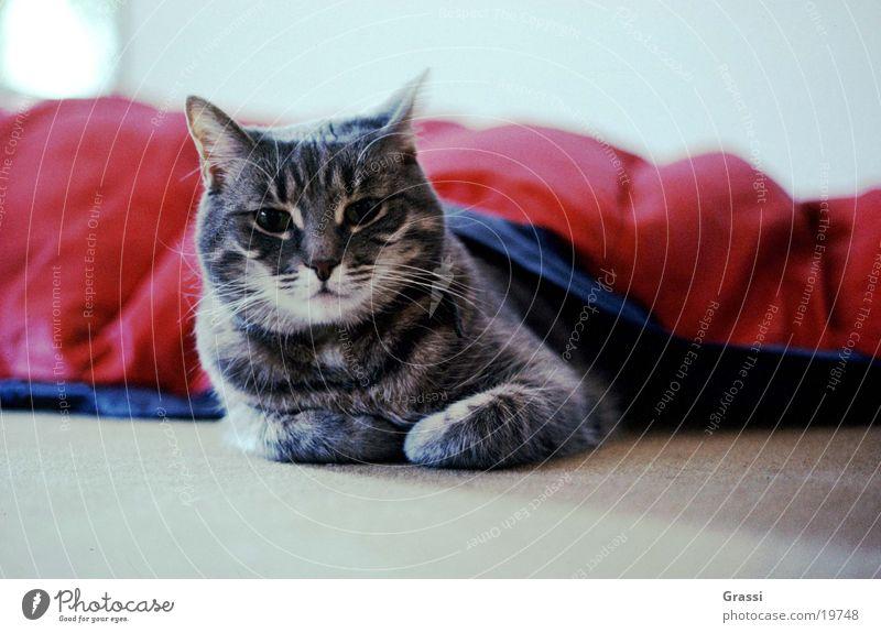 Floh Katze Fell Haustier Pfote Hauskatze Krallen verkatert Katzenbaby kratzen Schnurren Streicheln Kratzer Katzenauge Katzenpfote Katzenkopf kratzig