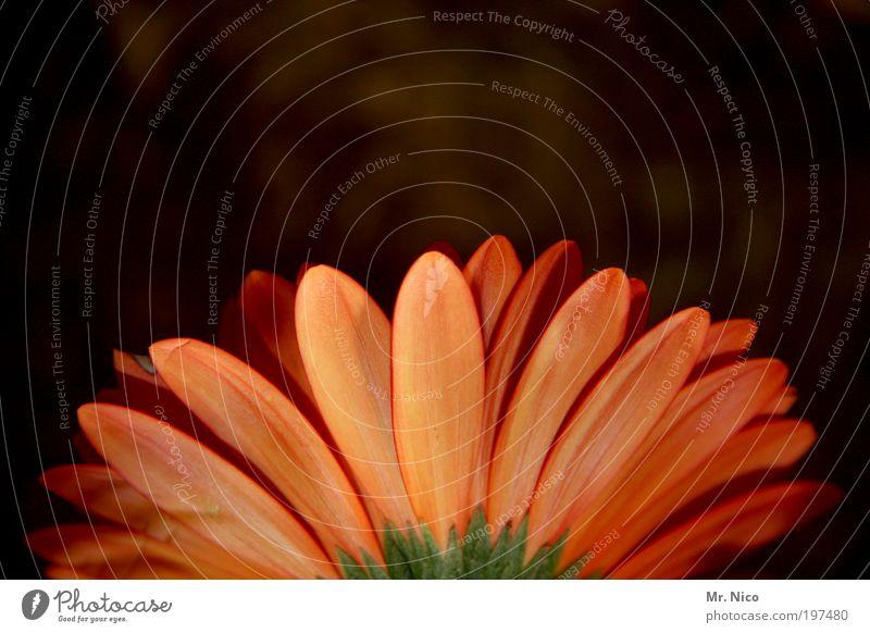 blümchen Frühling Sommer Blume Frühlingsgefühle Gerbera Blüte orange Blütenblatt Vase flower Flowerpower schnittblume Botanik korbblütler flora Blumenstrauß