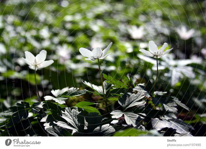 three for the sun Buschwindröschen Frühlingserwachen Frühlingsblumen Frühlingsboten Frühblüher blühende Wildblumen weiße Blüten Lichtstimmung Waldblumen April