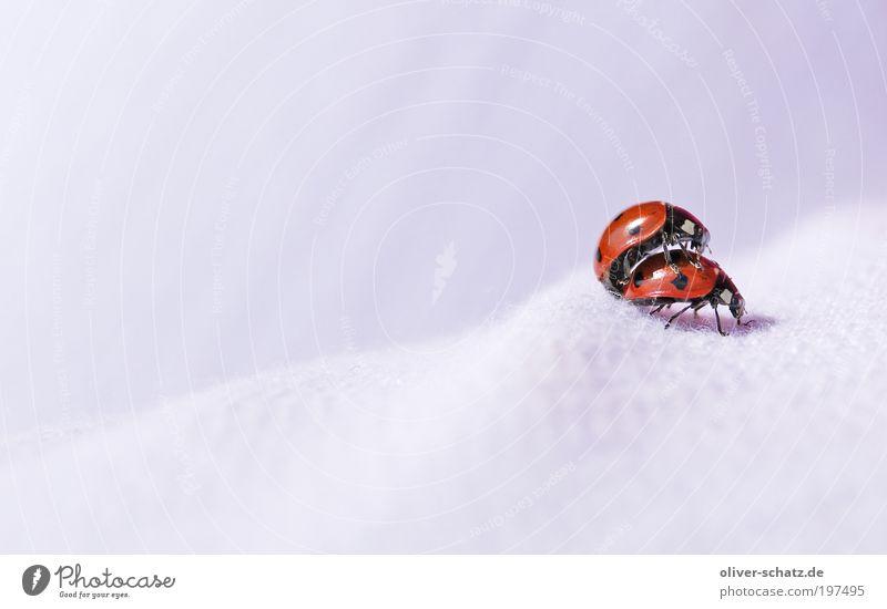 Huckepack ;-) Tier Käfer Insekt Marienkäfer Tierpaar 2 krabbeln rot Farbfoto Nahaufnahme Detailaufnahme Makroaufnahme Textfreiraum links Zentralperspektive Tag