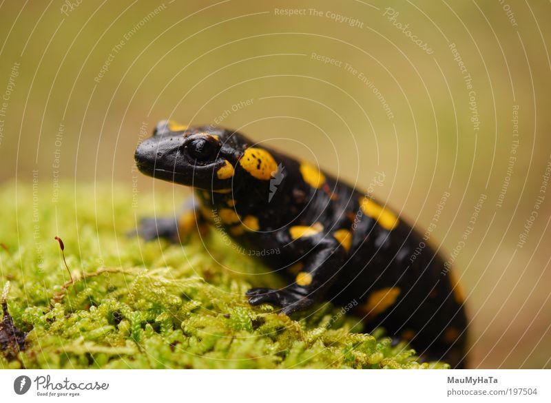 Salamandra salamandra salamandra Tier Wildtier Tiergesicht Zoo 1 Stein braun mehrfarbig gelb gold grau grün schwarz Farbfoto Nahaufnahme Detailaufnahme