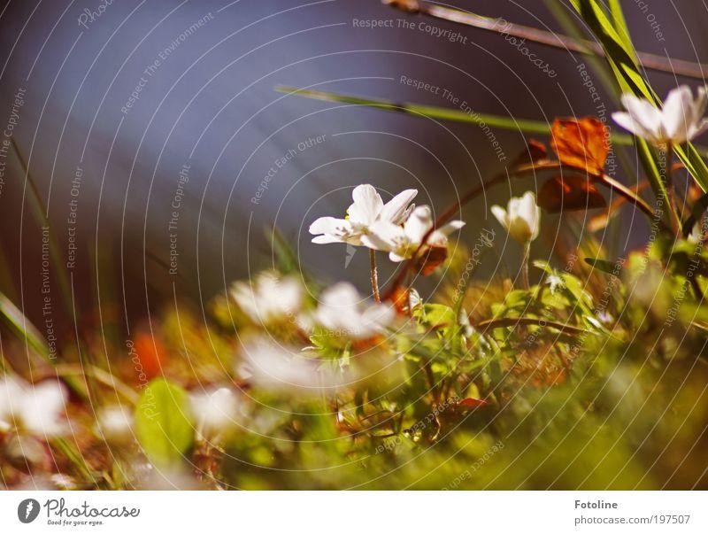 Buschwindröschen Umwelt Natur Landschaft Pflanze Urelemente Erde Frühling Klima Wetter Schönes Wetter Wärme Blume Gras Blatt Blüte Park Wiese hell grün weiß