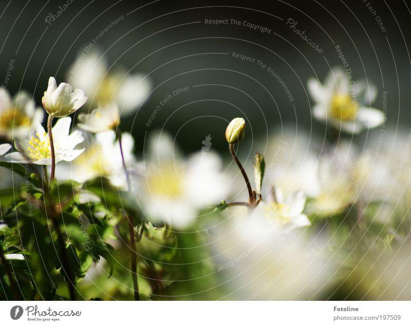 Ich blüh auch noch auf! Umwelt Natur Landschaft Pflanze Frühling Klima Wetter Schönes Wetter Wärme Blume Blatt Blüte Wildpflanze Park Wiese hell grün weiß