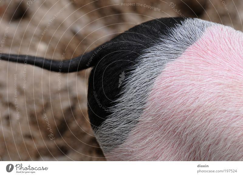 Von wegen Ringelschwänzchen! [LUsertreffen 04|10] schwarz Tier grau lustig rosa Gesäß Fell Zoo niedlich Haustier Schwein Schwanz Hausschwein Nutztier Produktion Mensch