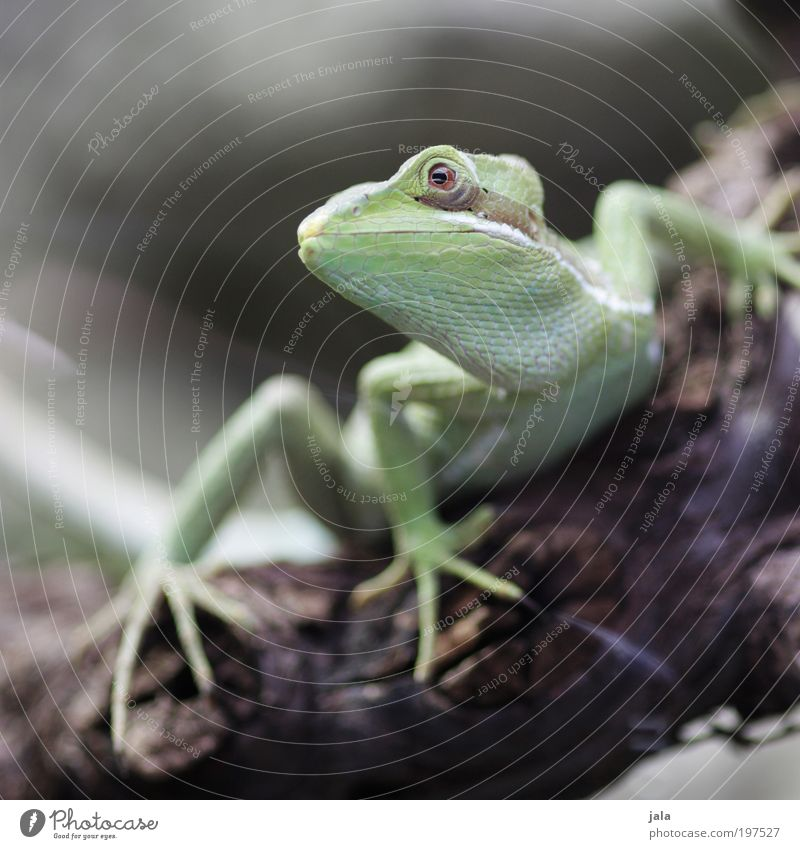 Poser [LUsertreffen 04|10] schön Tier ästhetisch Tiergesicht Zoo Wildtier Echsen Helm Basilisk