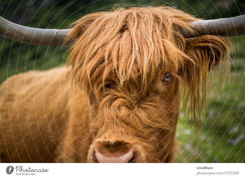 Prüfender Ochsenblick Natur Tier natürlich Gras wandern Kraft groß bedrohlich Sicherheit stark Wut Wachsamkeit Jagd Tiergesicht Kuh selbstbewußt