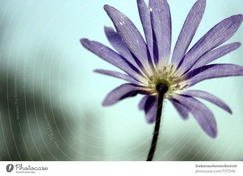 """""""Flieg mit mir - der Sonne entgegen"""" Natur Pflanze Luft Wolkenloser Himmel Frühling Schönes Wetter Blume Blüte Blühend Wachstum nah blau violett weiß Romantik"""