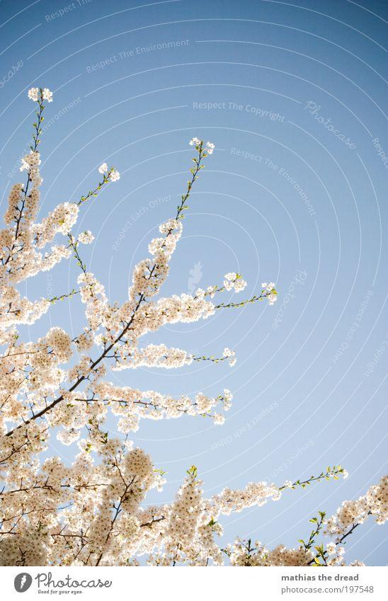 BLÜTENPRACHT Umwelt Natur Landschaft Pflanze Himmel Wolkenloser Himmel Frühling Schönes Wetter Baum Blume Blatt Blüte Wiese Blühend Wachstum Freundlichkeit