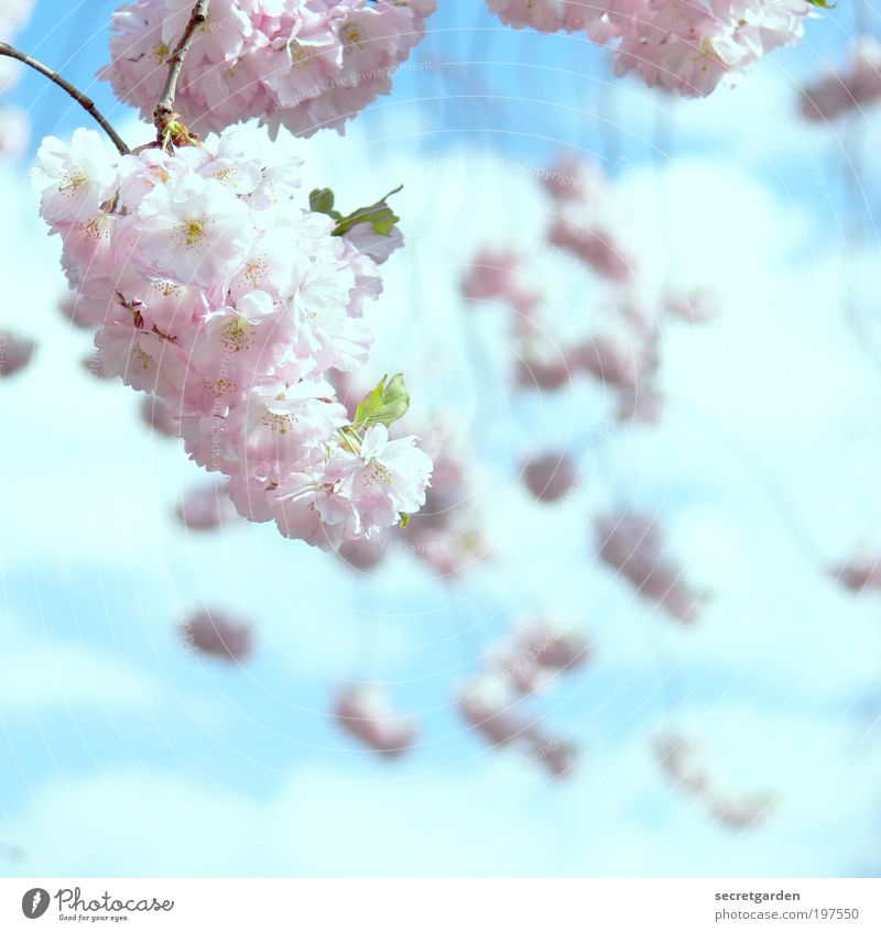 traumsequenz. Muttertag Kirschblütenfest Gartenarbeit Natur Pflanze Himmel Frühling Baum Blüte Park Blühend Duft leuchten schön Kitsch blau rosa Gefühle