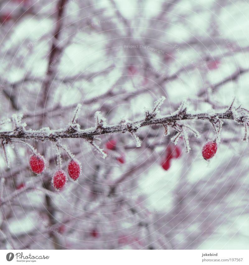 Eistee Pflanze Winter Frost Schnee Sträucher Hagebutten Frucht Stachel Zweige u. Äste kalt Spitze stachelig rot weiß Natur schön überwintern gefroren frieren