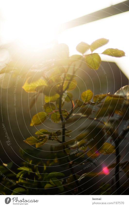 Rosenblätter Natur Sonne grün Pflanze ruhig Blatt Frühling Garten Wärme hell Umwelt Energie Wachstum Sträucher Spitze