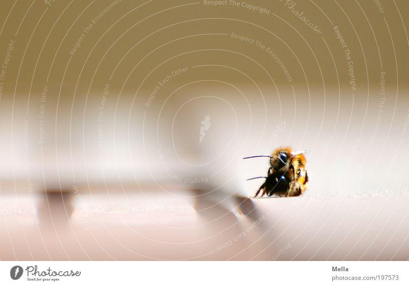 Bienchen ohne Blümchen Natur Freude Tier Umwelt Gefühle Stimmung Zusammensein natürlich Biene Leidenschaft Sympathie Frühlingsgefühle Insekt 2