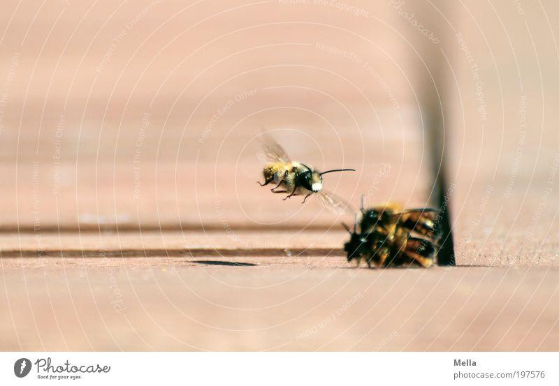 Voyeur Natur Tier Umwelt Gefühle klein Stimmung Zusammensein fliegen natürlich beobachten Neugier nah Biene Aggression Sympathie Insekt