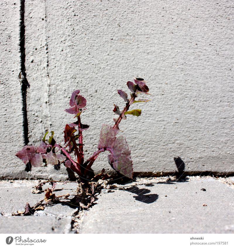 Unkraut vergeht nicht Natur Blume Pflanze Blatt Straße Leben Wand Mauer Wege & Pfade Umwelt Wachstum Verkehrswege Tapferkeit Wildpflanze Unkraut